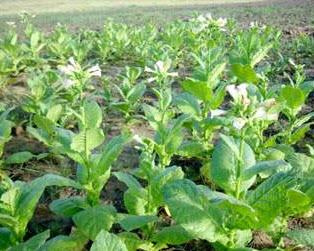 Купить Выращивание табака