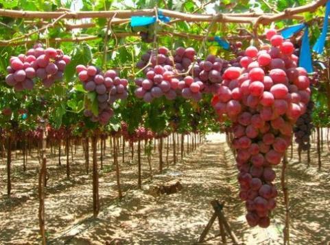 Продам мандарин, гранат, виноград оптом с Ирана.
