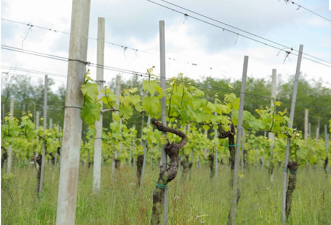 Купить Столбики железобетонные для виноградника