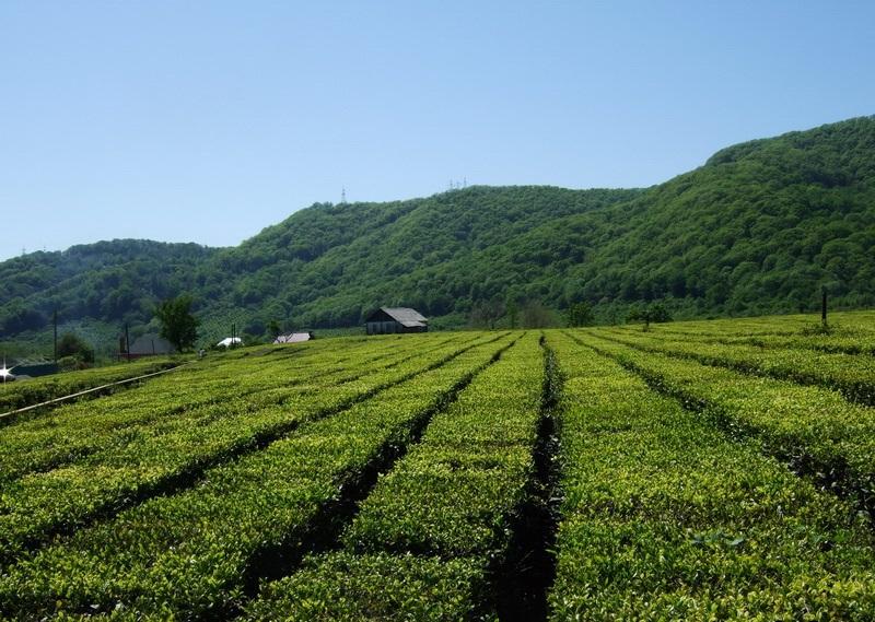 Купить Чай,Ленкорань чай и цитрусовые