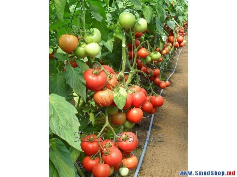Купить Семена томата МАГНУС F1(MAGNUS F1) компании Seminis