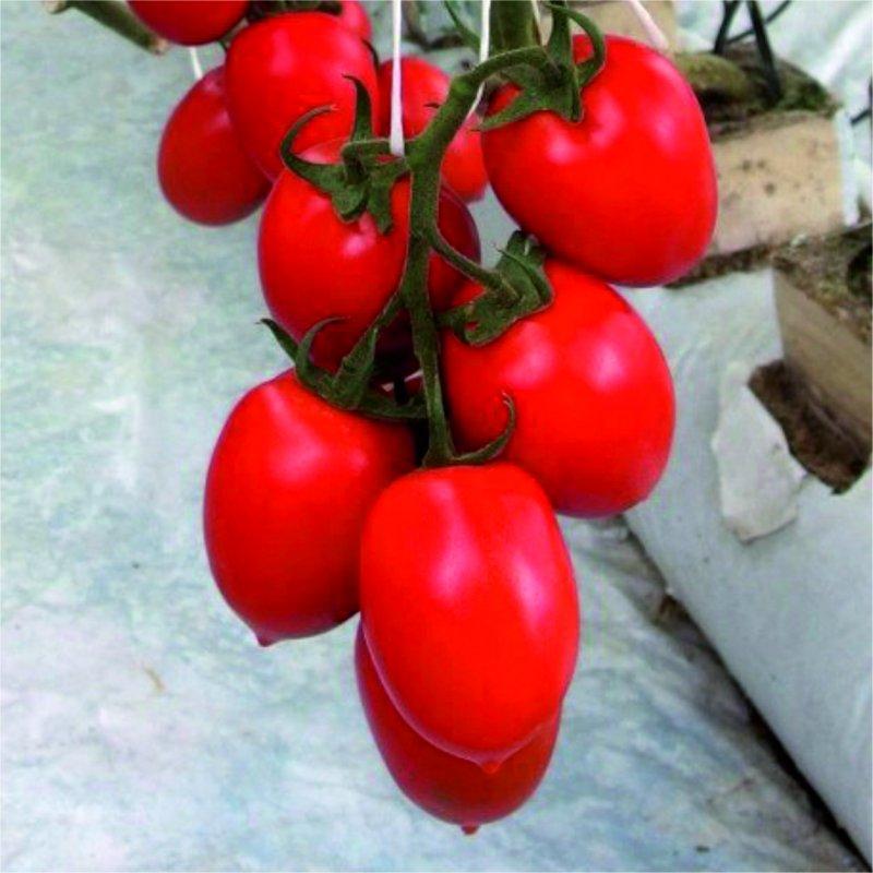Buy Tomato tall COLIBRI F1(KOLIBRI F1)