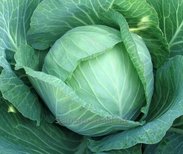 Купить Семена капусты белокочанной Оракул F1