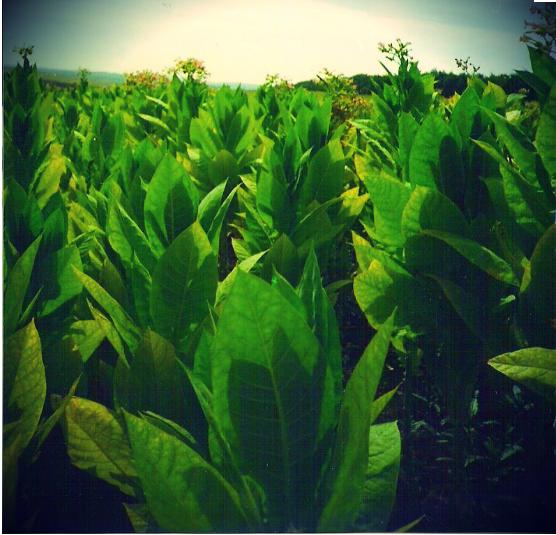 Купить Сырье для табачной промышленности
