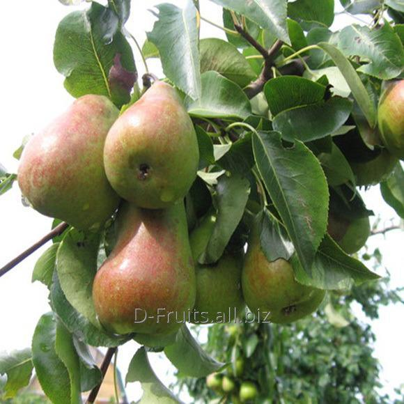 Buy We grow up and deliver 3 grades of pears. Calibers: 65–135 / 68–145 / 72–152.