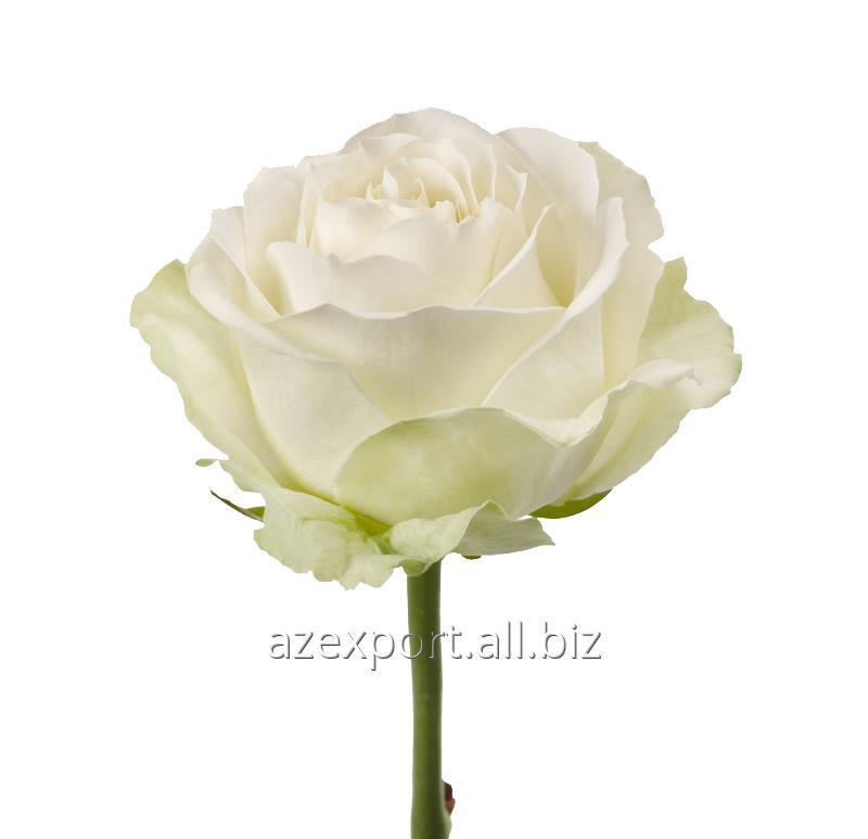 """Купить Розы белые """"Аваланш"""""""