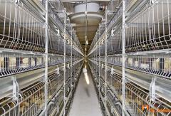 Cellular equipment for poultry farms of the meat