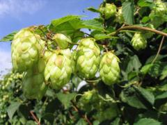 The hop pressed