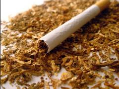 Tobacco seedling