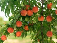 Персик в Азербайджане