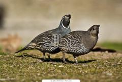 Meat of quails