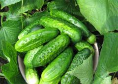 IKAR - (Cucumbers Baku)