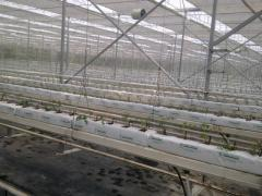 Mayçelik modern greenhouse halls, production of