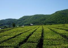 Чай,Ленкорань чай и цитрусовые