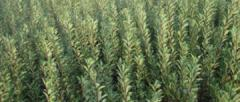 Virus-free saplings