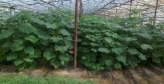 Pavlovniya's saplings - a compact, fast-growing