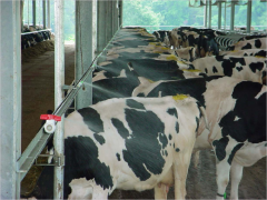 Cooling system of cattle