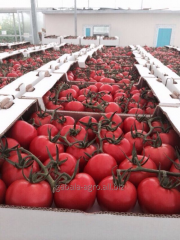 Tomatoes on a branch (Baku, Azerbaijan)