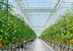 Modern greenhouses of the Dutch origin