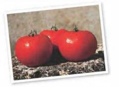Tomato seeds semi-determinant early ripe hybrid