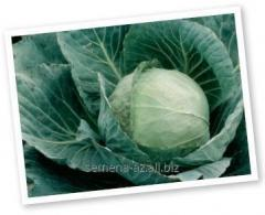 Seeds of cabbage white F1 Cup