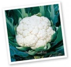 Seeds of a cauliflower of Alpin of F1