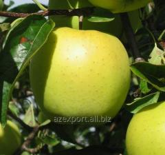 Apple Golden Delishes