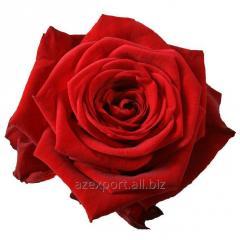 """Роза """"Красная Наоми"""""""