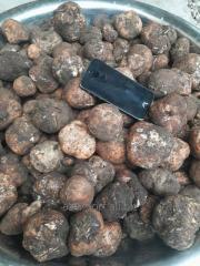 Desert truffle (Terfezia clavaryi)