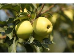 Яблоки - Golden Delicious
