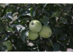 Яблоки- Granny Smith