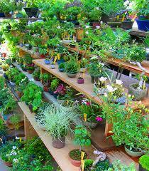 Растения овощные