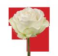 """Розы белые """"Аваланш"""""""