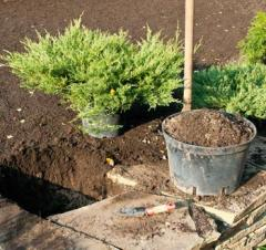 Planting of trees and bushes