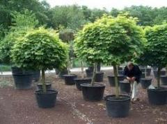 Okulirovka of ornamental plants